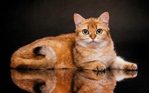 Picture cat, look, reflection, background, British Shorthair, Евгений Дёгтев, Золотая Шиншилла