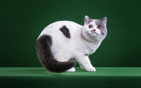 Picture cat, white, cat, look, pose, kitty, muzzle, spot, tail, cute, is, kitty, green background, British, …
