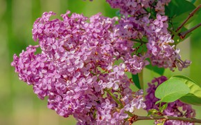 Picture branch, spring, lilac