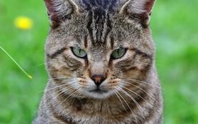 Picture cat, cat, look, close-up, grey, portrait, striped