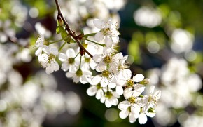 Picture spring, flowering, white flowers