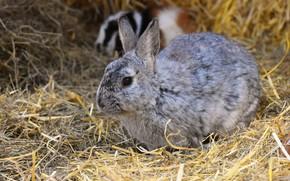 Picture rabbit, muzzle, hay