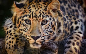 Picture look, face, predator, paws, leopard, wild cat