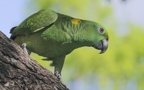 Picture look, pose, green, background, tree, bird, parrot, bark, Jaco