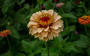 Picture greens, flower, summer, flowerbed, zinnia