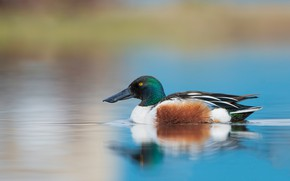 Picture reflection, bird, profile, duck, pond, blue background, swimming