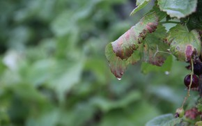 Picture greens, macro, sheet, Rosa, drop, berry, currants, Belarus, a drop of dew, my photo