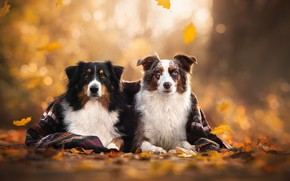 Picture autumn, leaves, plaid, a couple, bokeh, two dogs
