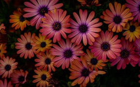 Picture nature, petals, Daisy