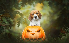 Picture autumn, grass, look, leaves, nature, background, dog, pumpkin, Halloween, smiley, composition