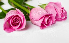 Picture leaves, drops, stems, roses, three, pink, buds, wet, lie, bokeh