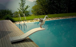 Picture duck, jump, pool