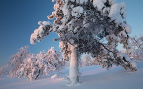 Picture snow, nature, tree