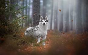 Wallpaper forest, spruce, husky