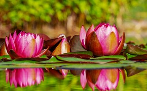 Picture leaves, water, Flowers, Water Lily