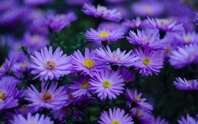 Picture the dark background, Bush, a lot, lilac, bokeh, asters