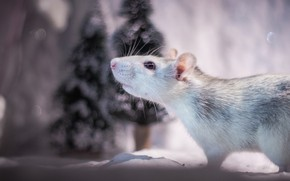 Picture winter, look, snow, background, holiday, mouse, mouse, muzzle, New year, profile, animal, grey, photoshoot, rat, …