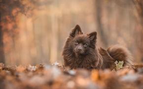 Picture autumn, look, leaves, branches, nature, Park, background, foliage, portrait, dog, lies, face, cutie, brown, bokeh