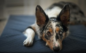 Picture look, face, pose, stay, dog, lies, mattress, litter, the border collie