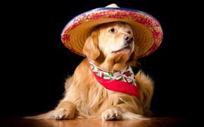 Picture portrait, dog, hat, costume, lies, image, black background, Golden, shawl, photoshoot, posing, dog, Retriever, straw, …