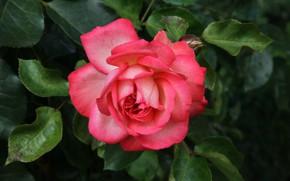 Picture macro, rose, Bush