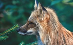 Picture animals, nature, Fox