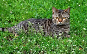 Picture cat, look, lies, grey, flowers, striped, background, face, glade, greens, lawn, grass, cat