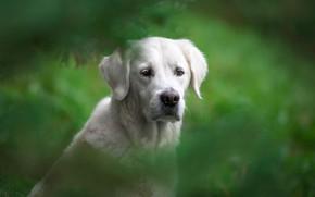 Picture look, face, portrait, dog, bokeh, Golden Retriever, Golden Retriever, Natalia Lays
