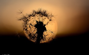Picture flower, the sun, macro, sunset, dandelion