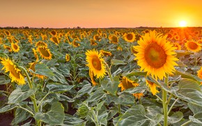 Picture field, summer, the sky, leaves, the sun, rays, light, sunflowers, landscape, sunset, flowers, the evening, …
