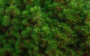Picture summer, pine, Baltic, Alpine