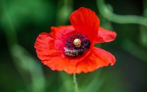 Picture greens, flower, red, bee, one, Mac, Maki, bokeh