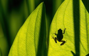 Picture leaves, macro, light, frog, silhouette, shadows, veins, on a piece