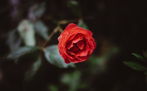 Picture flowers, nature, rose, Macro, Plants