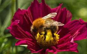 Picture flower, summer, macro, bee