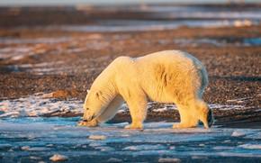 Picture winter, white, light, snow, nature, pose, shore, ice, bear, bears, bear, walk, polar bear, polar ...
