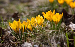 Picture flowers, glade, spring, yellow, crocuses