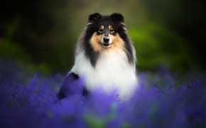 Picture flowers, dog, Collie