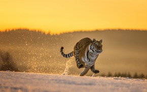 Picture winter, field, forest, cat, snow, nature, tiger, pose, jump, paws, morning, running