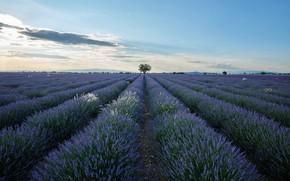 Picture lavender, plantation, lavender field