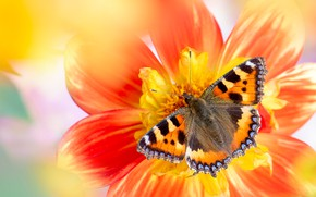 Picture flower, macro, yellow, red, background, butterfly, blur, insect, bokeh, urticaria