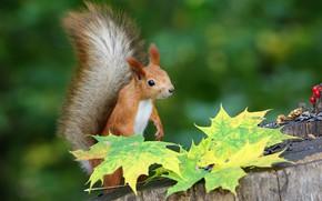 Picture autumn, leaves, nature, pose, stump, protein, maple, squirrel, autumn