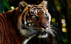 Picture eyes, look, face, tiger