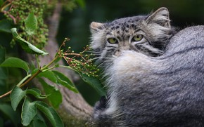 Picture look, face, leaves, portrait, tail, sitting, manul, выглдявает