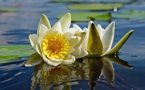 Picture flowers, lake, water lilies