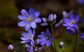 Picture macro, spring, petals, bokeh, buds, Pechenocna
