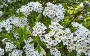 Picture nature, flowering, white color, Spiraea