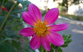 Picture flower, summer, morning, Dahlia, Meduzanol ©