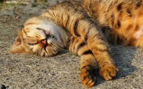 Picture cat, sleeping, striped
