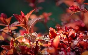 Picture autumn, leaves, water, drops, macro, nature, Nelia Rachkov